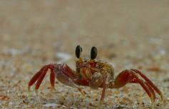 tiny crab.
